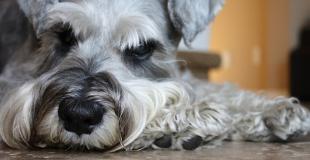 La métrite chez la chienne : symptômes, traitement et prévention