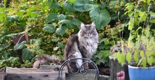 Le Norvégien : caractère, origine et principaux problèmes de santé de cette race de chat
