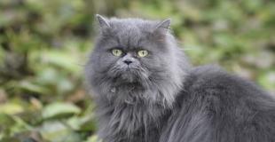 Le Persan : caractère, origine et principaux problèmes de santé de cette race de chat