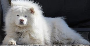 Le Samoyède : caractère, origine et principaux problèmes de santé de cette race de chien
