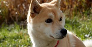 Le Shiba Inu : caractère, origine et principaux problèmes de santé de cette race de chien