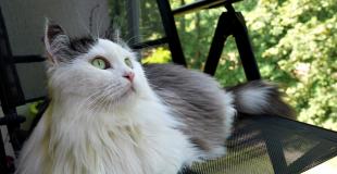 Le Sibérien : caractère, origine et principaux problèmes de santé de cette race de chat