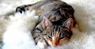 Le Sida du chat (FIV) : symptômes, traitement et prévention