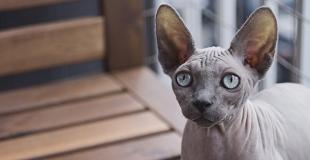 Le Sphynx : caractère, origine et principaux problèmes de santé de cette race de chat