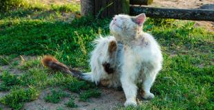 Le teigne chez le chat : symptômes, traitement et prévention