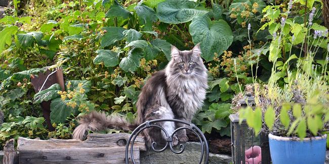 Le Norvégien : ses problèmes de santé, choisir la bonne mutuelle pour ce chat