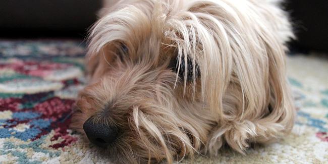 La parvovirose chez le chien : symptômes, traitement et prévention