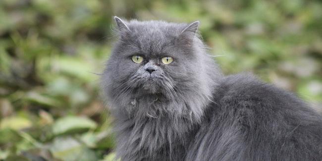 Le Persan : ses problèmes de santé, choisir la bonne mutuelle pour ce chat