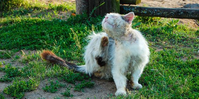 Teigne chez le chat : symptômes, traitement et prévention