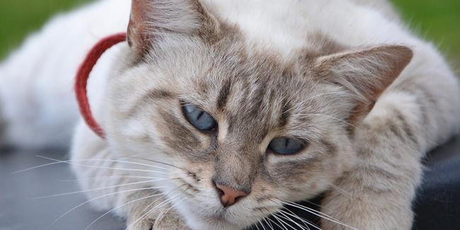 Le typhus du chat : symptômes, traitement et prévention