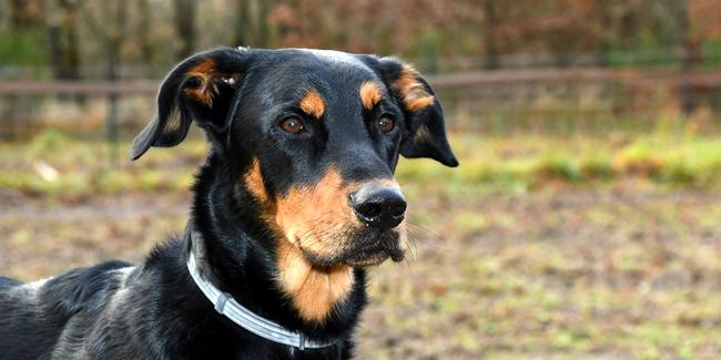 Le Beauceron : caractère, origine et principaux problèmes de santé de cette race de chien