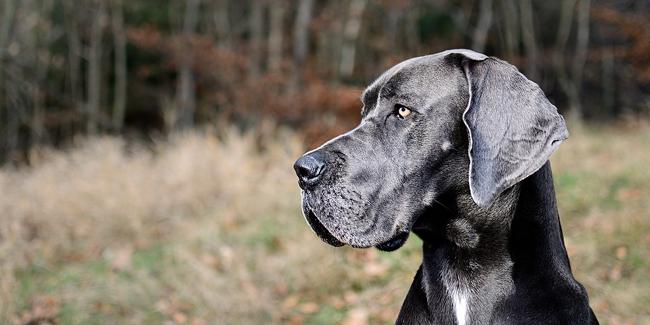 Le Dogue Allemand : caractère, origine et principaux problèmes de santé de cette race
