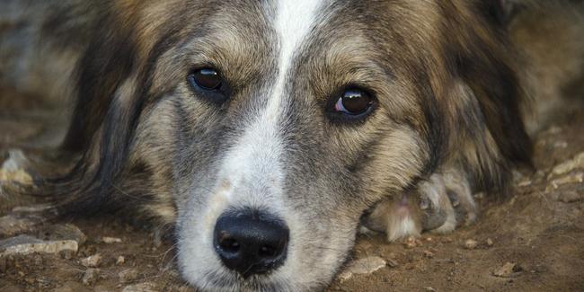 La leptospirose du chien : symptômes, traitement et prévention
