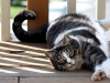 L'American Shorthair : caractère, origine et principaux problèmes de santé de cette race