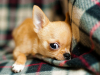 Le Chihuahua : caractère, origine et principaux problèmes de santé de cette race de chien
