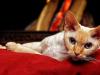 Le Devon Rex : caractère, origine et principaux problèmes de santé de cette race de chat