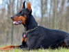 Le Doberman : caractère, origine et principaux problèmes de santé de cette race de chien