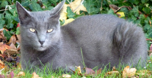Le Korat : caractère, origine et principaux problèmes de santé de cette race de chat