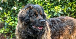 Le Leonberg : caractère, origine et principaux problèmes de santé de cette race de chien