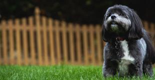 Le Shih Tzu : caractère, origine et principaux problèmes de santé de cette race de chien