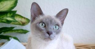 Le Tonkinois : caractère, origine et principaux problèmes de santé de cette race de chat