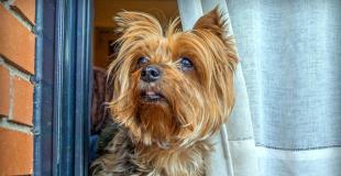 Le Yorkshire : caractère, origine et principaux problèmes de santé de cette race de chien