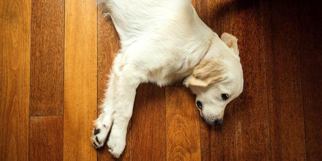 La torsion de l'estomac chez le chien : symptômes, traitement et prévention