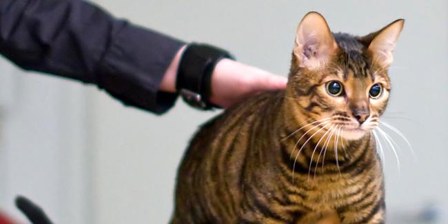 Le Toyger : caractère, origine et principaux problèmes de santé de cette race de chat
