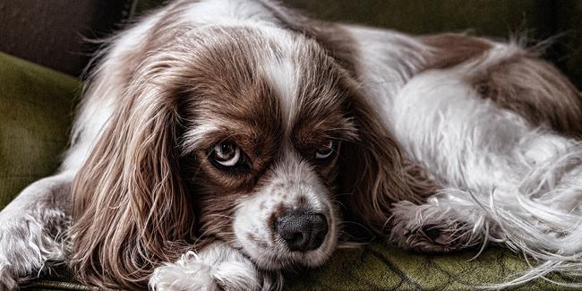 Les tumeurs mammaires chez la chienne : symptômes, traitement et prévention