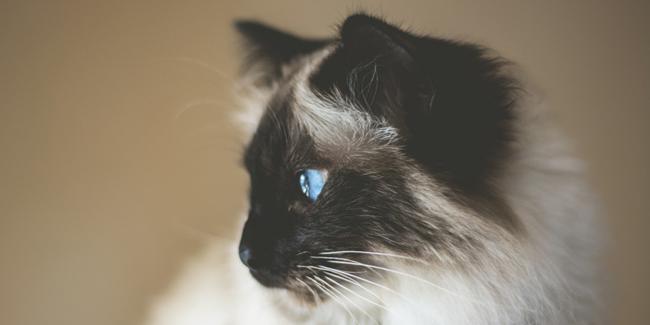 Le diabète chez le chat : symptômes, traitement et prévention