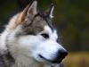 Le Malamute de l'Alaska : caractère, origine et principaux problèmes de santé de cette race