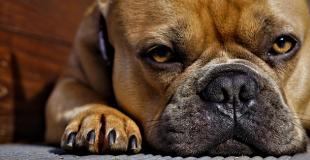 L'ostéosarcome chez le chien : symptômes, traitement et prévention