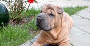 Le Shar Pei : caractère, origine et principaux problèmes de santé de cette race de chien