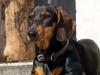 Le Teckel : caractère, origine et principaux problèmes de santé de cette race de chien
