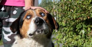 La cataracte chez le chien : symptômes, traitement et prévention
