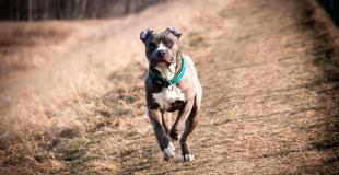 L'American Staffordshire Terrier (Amstaff) : caractère et principaux problèmes de santé