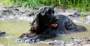 Le Cocker : caractère, origine et principaux problèmes de santé de cette race de chien