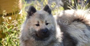 L'Eurasier : caractère, origine et principaux problèmes de santé de cette race de chien