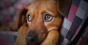 Cancer de la rate chez le chien : symptômes, traitement et prévention