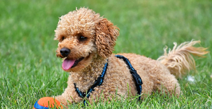 Le Caniche : caractère, origine et principaux problèmes de santé de cette race de chien