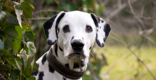 Dalmatien : caractère, origine et principaux problèmes de santé de cette race de chien