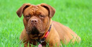 Le Dogue de Bordeaux : caractère, origine et principaux problèmes de santé de cette race