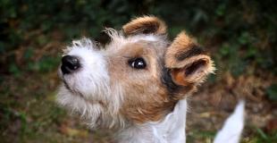 Fox Terrier : caractère, origine et principaux problèmes de santé de cette race de chien
