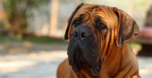 Le Mastiff : caractère, origine et principaux problèmes de santé de cette race de chien