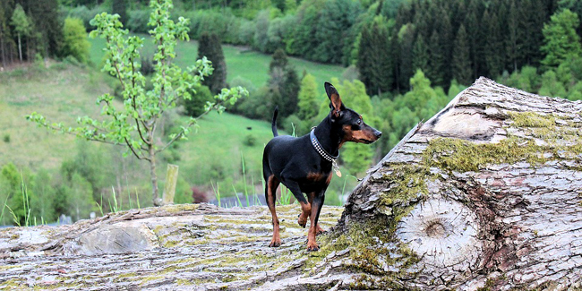 Le Pinscher : caractère, origine et principaux problèmes de santé de cette race de chien