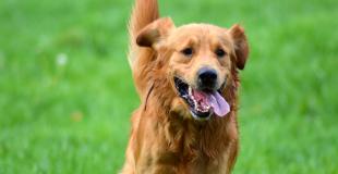 Castration du chien et stérilisation de la chienne : pourquoi, risques et prix