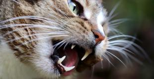 La toux chez le chat : pourquoi mon chat tousse ?
