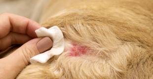 La pyodermite superficielle chez le chien : symptômes, traitement et prévention