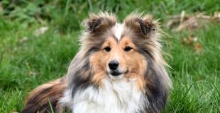 Le Shetland : caractère, origine et principaux problèmes de santé de cette race de chien
