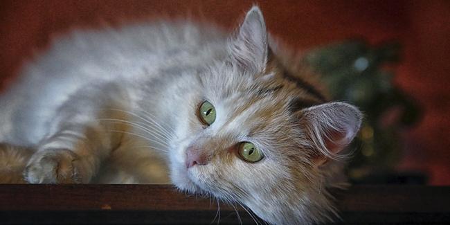 Les puces du chat : quels risques ? Comment s'en débarrasser ?